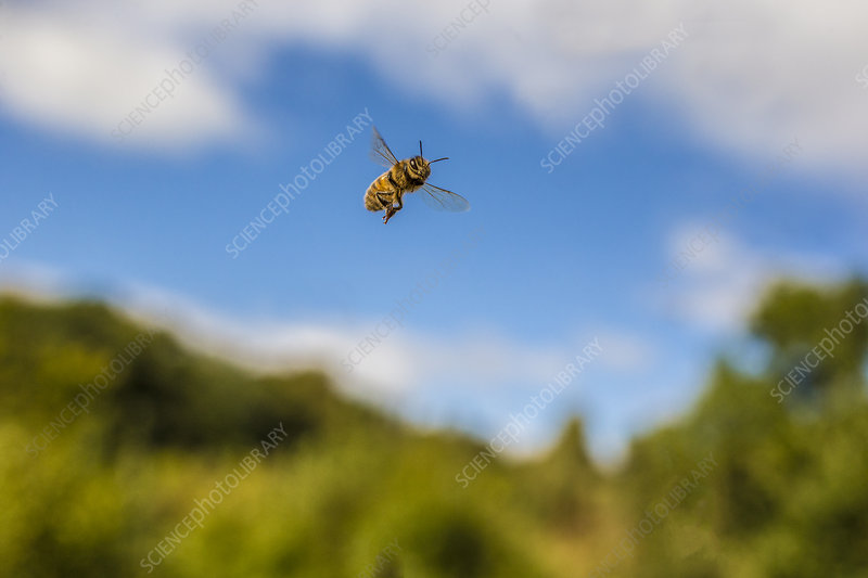 European honey bee in flight, Monmouthshire, Wales, UK