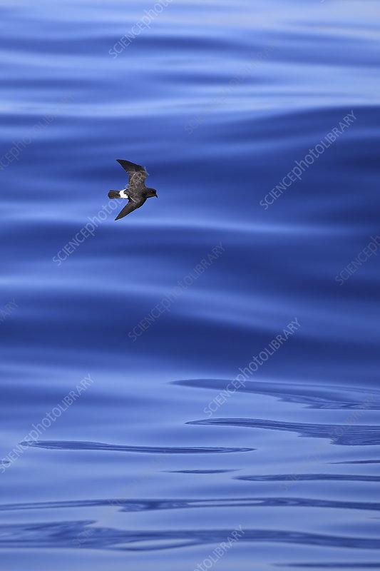 European storm petrel in flight over the sea, Portugal