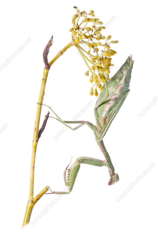 Eyed Mantis female
