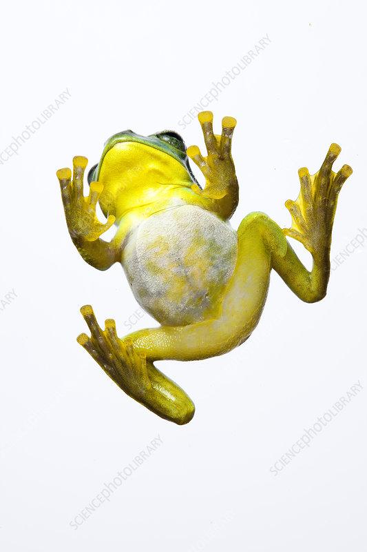 Fea's Treefrog