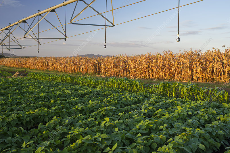 Field of Green beans (Phaseolus vulgaris)