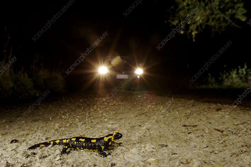 Fire Salamander crossing the road with car approaching