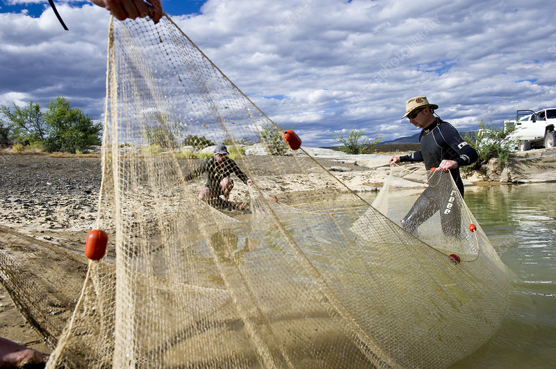 Fish ecologists dragging a fyke net ashore during a survey