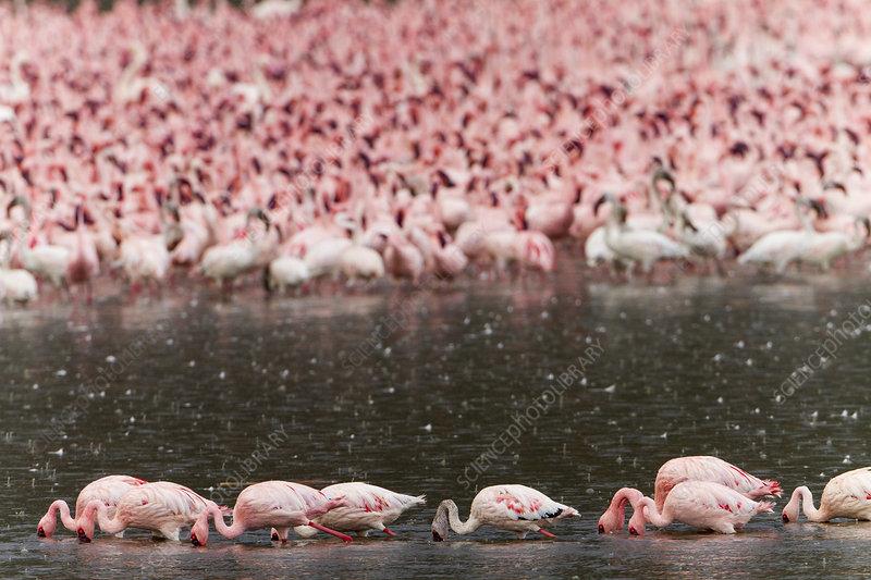 Flock of lesser flamingos feeding in the rain