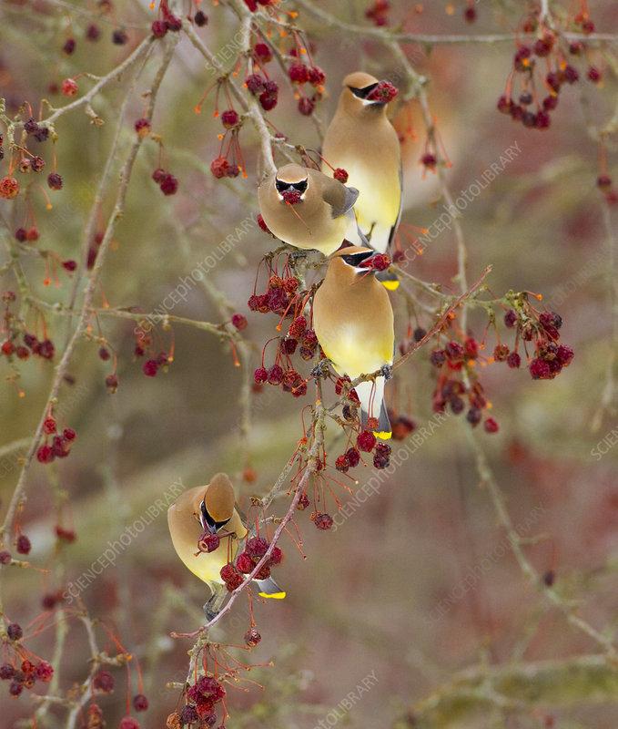 Four Cedar waxwings feeding on Crabapple fruit