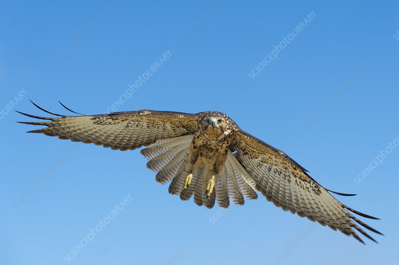 Galapagos hawk in flight, Galapagos, Ecuador