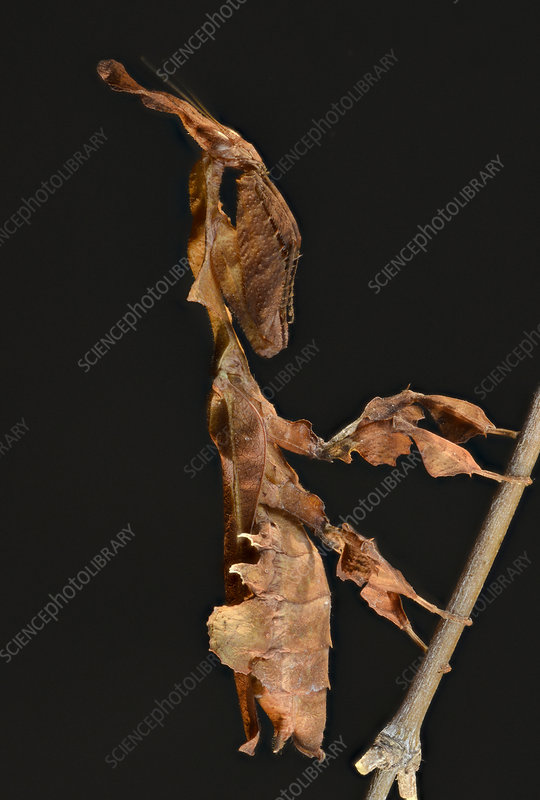 Ghost Mantis female