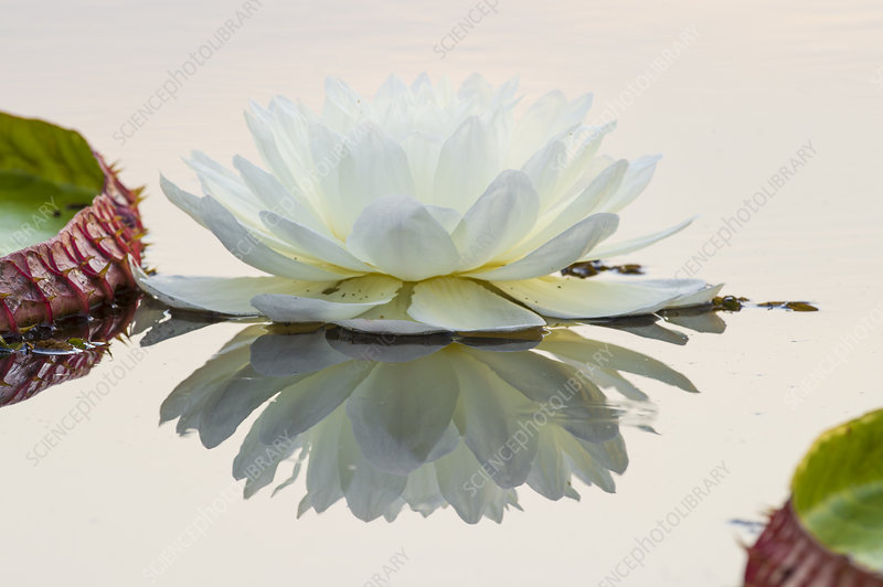 Giant Water Lily (Victoria amazonica) flower