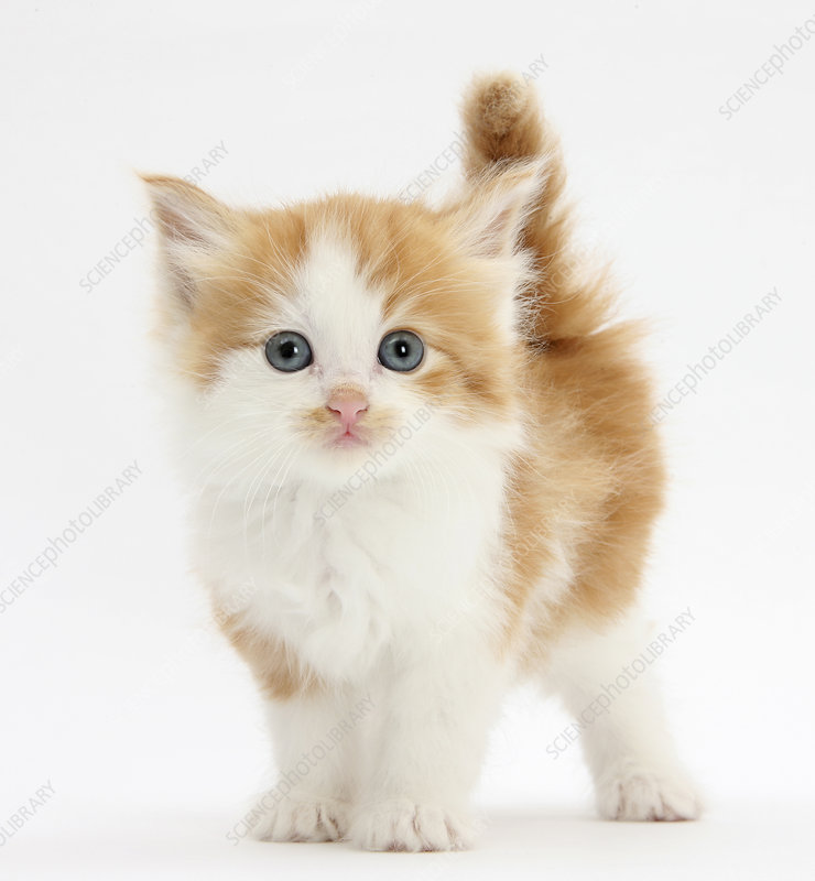 Ginger and white kitten looking at camera