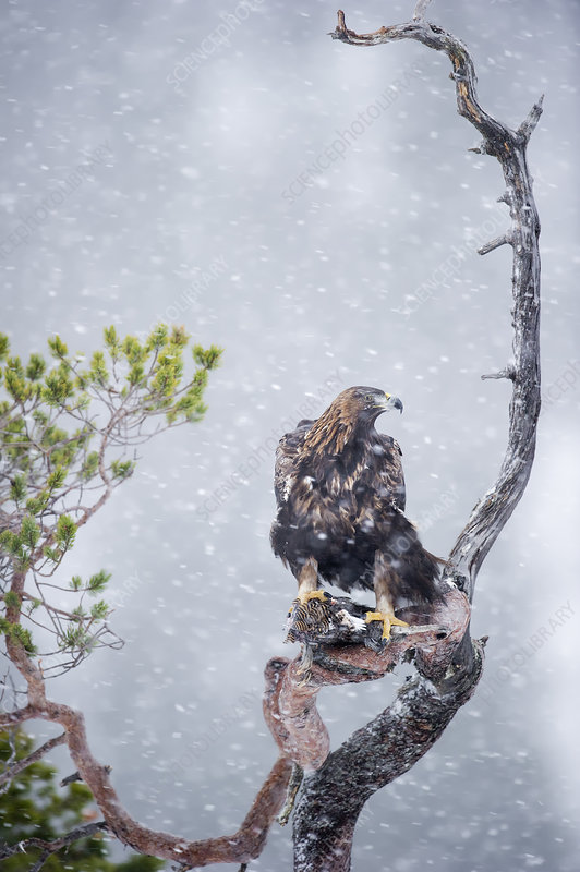 Golden Eagle feeding whilst perched on a tree top, Norway