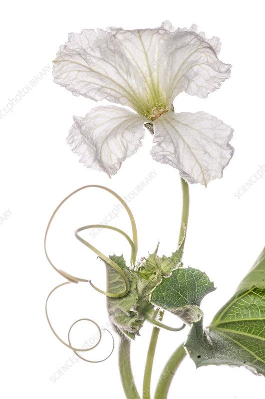 Gourd flower (Lagenaria )