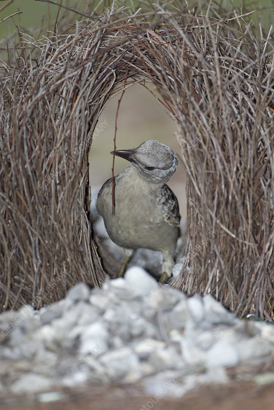 Great bowerbird male preparing courting bower with stick