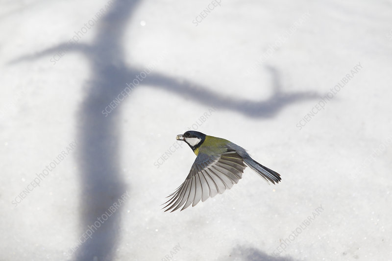Great tit in flight over snow, with shadow of tree, Norway