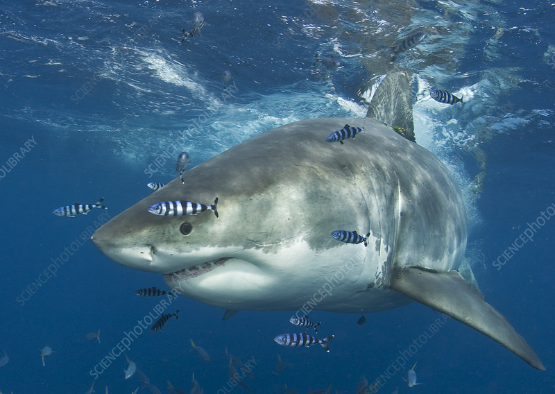 Great white shark with Pilot fish Isla Guadalupe, Mexico