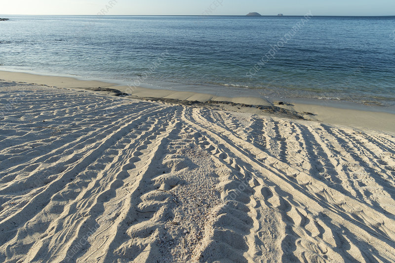 Green turtle tracks from nesting females on beach