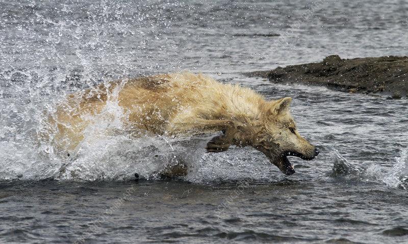 Grey wolf hunting pacific salmon