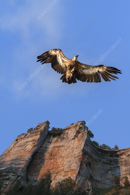 Griffon vultures landing at sunset