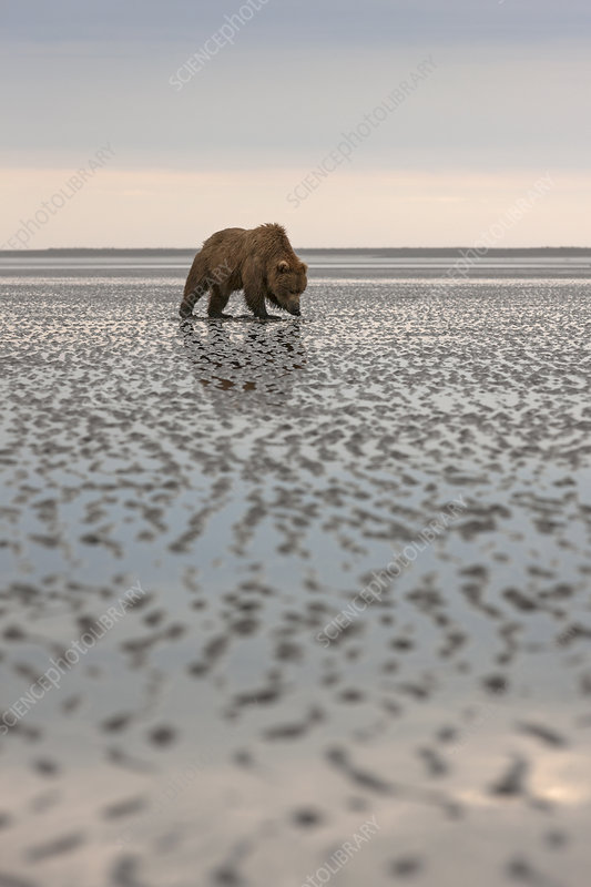 Grizzly Bear searching for clams
