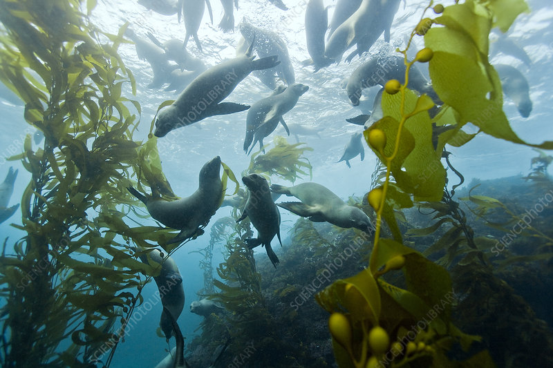 Group of California sea lions swimming in kelp forest