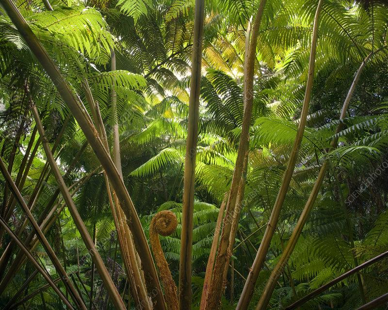 Hawaiian Tree Fern (Cibotium menziesii)