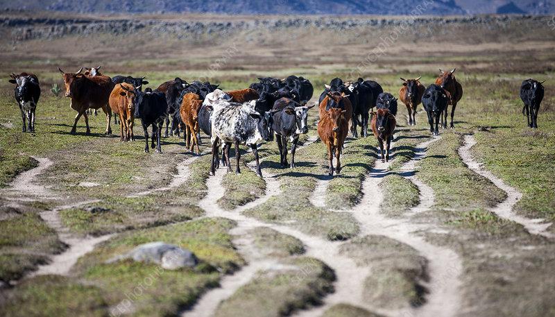 Herd of cattle walking along eroded tracks