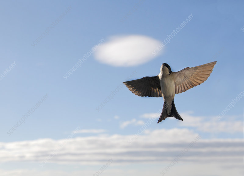 House martin flying upwards, with clouds, Buskerud, Norway