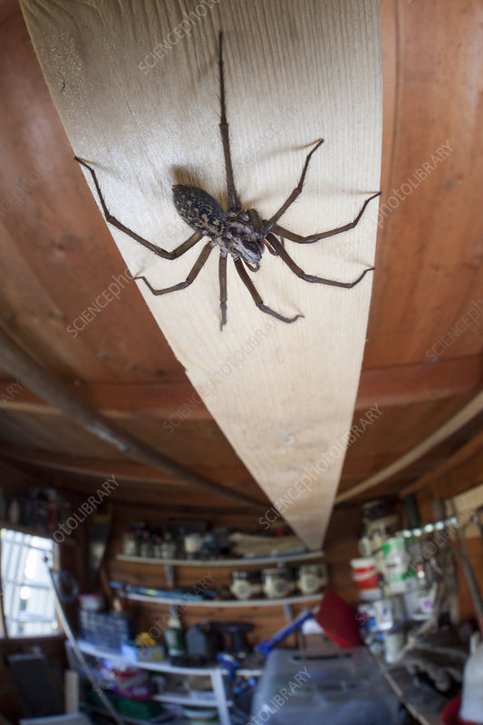 House Spider female in garden shed, Derbyshire, UK, March