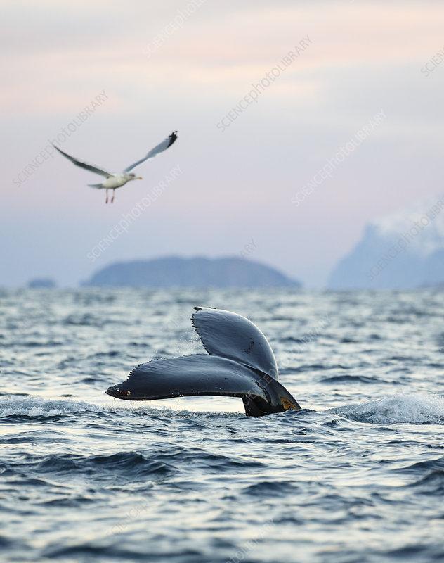 Humpback whale showing fluke