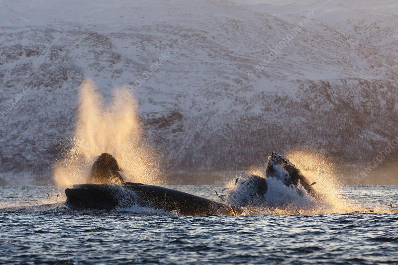Humpback whales feeding on Herring