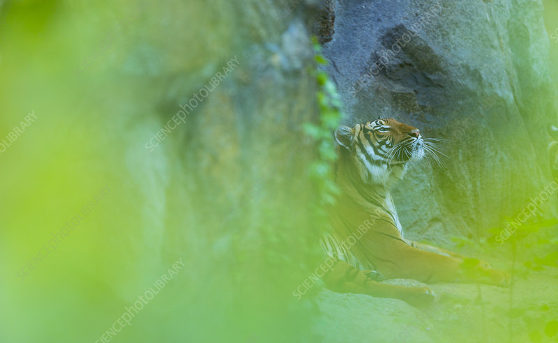 Indochinese tiger behind screen of leaves