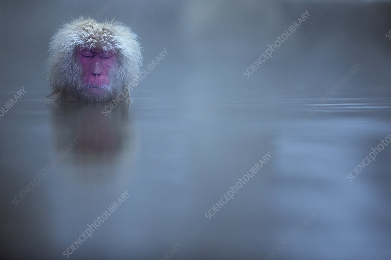 Japanese Macaque female submerged in a thermal hotspring