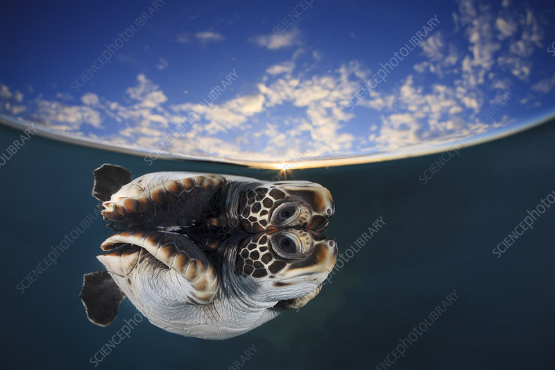 Juvenile green turtle reflected in the surface of the window