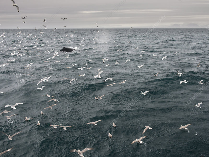 Kittiwakes and Fulmars following surfacing Humpback whale