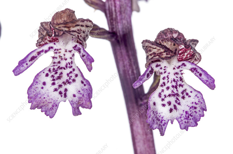 Lady Orchid (Orchis purpurea) individual flowers