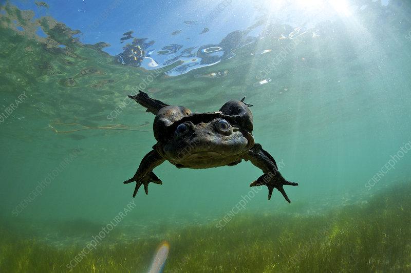 Lake Titicaca frog swimming