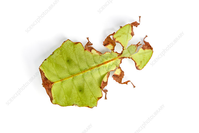 Leaf insect nymph