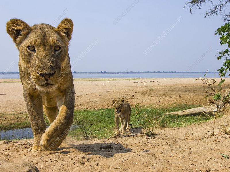 Lionesses in habitat, Lower Zambezi National Park, Zambia