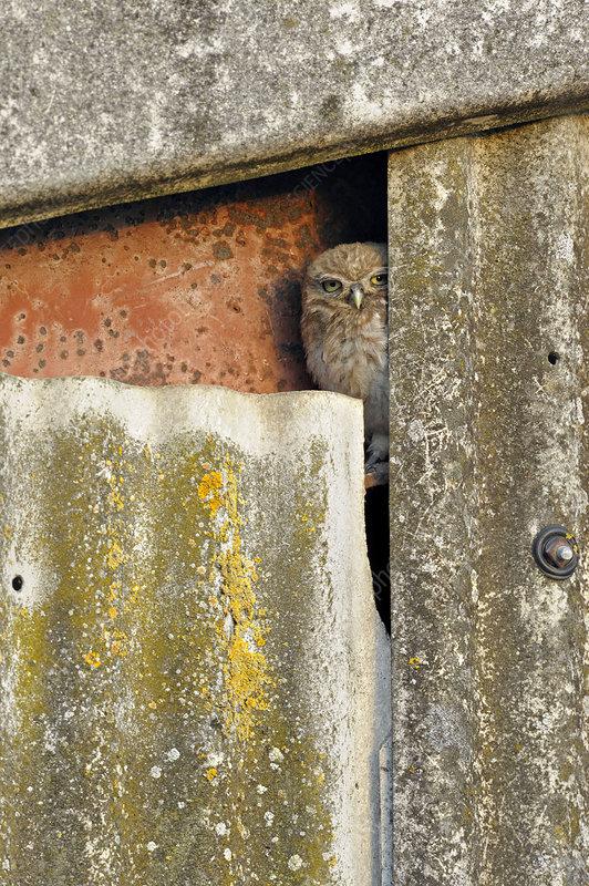 Little Owl owlet peering out of nest in barn, UK, July