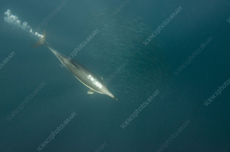 Long-beaked common dolphin feeding on sardines