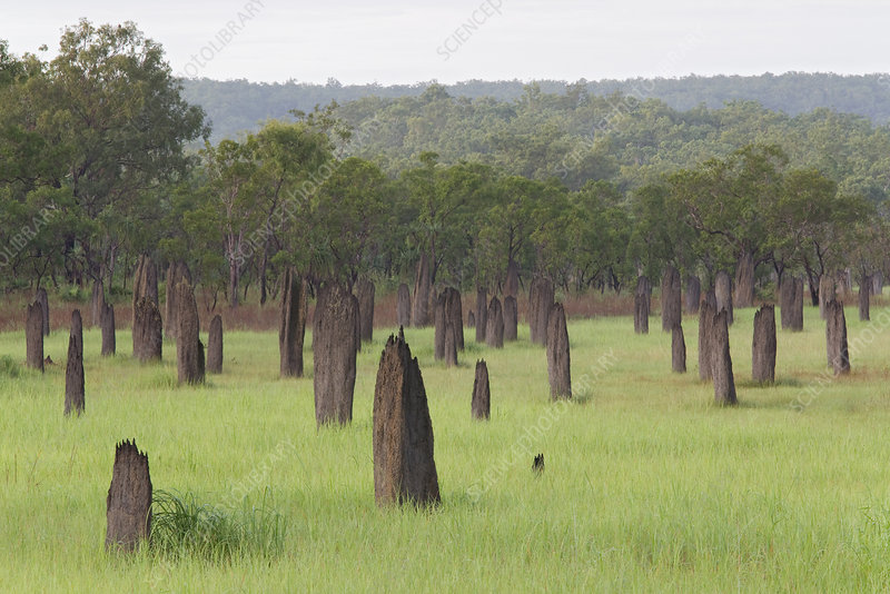 Magnetic termite mounds in grassland