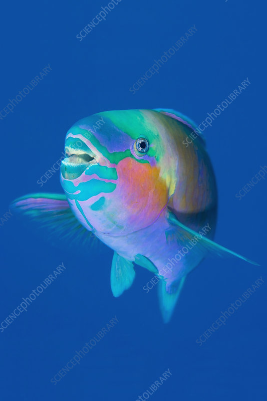 Male Bullethead parrotfish displaying