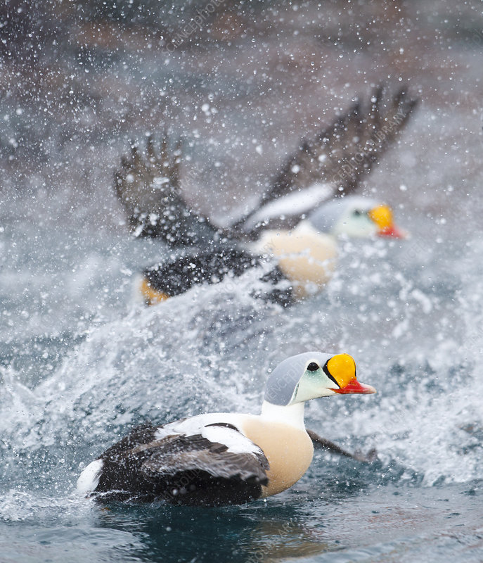 Male King eiders taking off from the waves and splashing