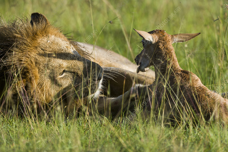 Male Lion playing with newborn Topi prey