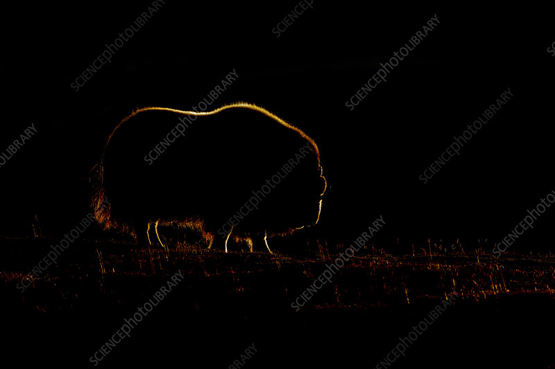 Male Muskox backlit by the late evening sun
