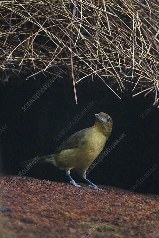 Male Vogelkop bowerbird constructing bower roof
