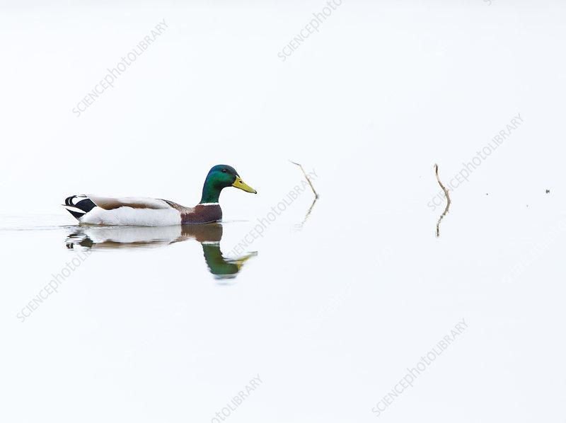 Mallard male swimming, Shumen, Bulgaria, April