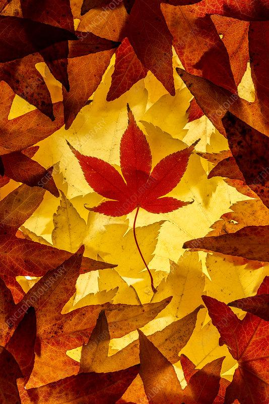 Maple leaves backlit on lightbox