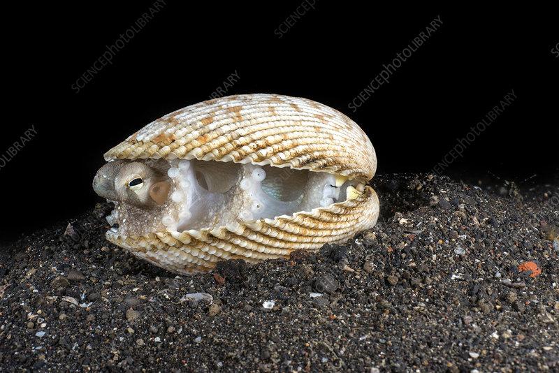 Margined octopus hiding inside bivalve shell