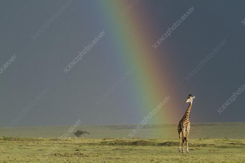 Masai giraffe, Masai-Mara game reserve, Kenya