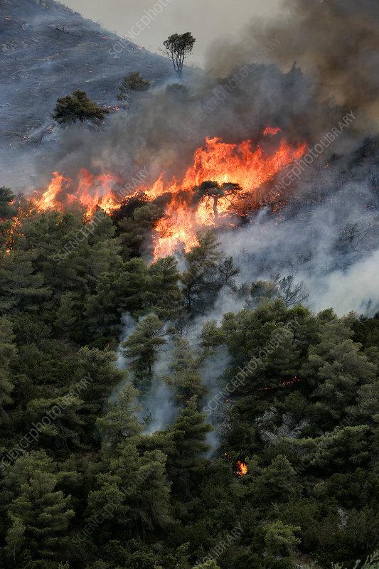 Mediterranean pines (Pinus halepensis) in forest fire